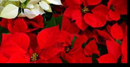 Nochebuena, la estrella de Navidad