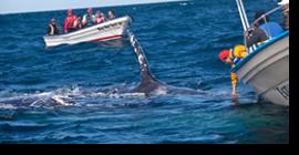 Encuentros cetáceos del tercer tipo