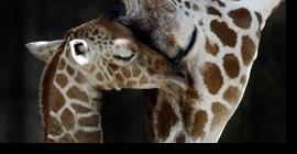 ¡LaGiraffe cumple 3 años!